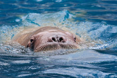 Close up face of male walrus swiming in deep sea water Royalty Free Stock Photography