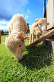 Close up face of merino sheep eating green grass in ranch field Stock Photography