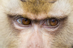 Close up face monkey Royalty Free Stock Photography