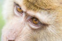 Close up face monkey Royalty Free Stock Image