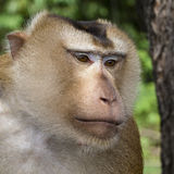 Close up face monkey, Thailand Stock Image