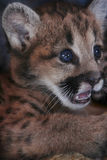 Close-up Face Mountain Lion Cub. Close-up of the face of a mountain lion puma cub with blue eyes Royalty Free Stock Photos