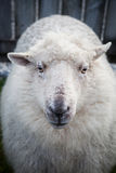 Close up face of new zealand merino sheep in rural livestock far. M Royalty Free Stock Image