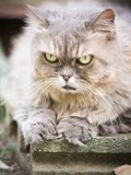 Close up face and nose from beauty old female gray persian cat w. Ith long hair sit in garden with soft focus background Stock Photos