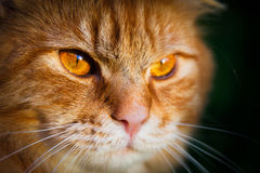 Close-up of a face of an orange tabby cat. Close-up of a face and eyes of an orange tabby cat stock photography