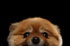 Close-up Face peek Cute Red Pomeranian Spitz Puppy isolated Black Royalty Free Stock Photos