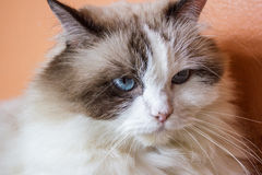 Close up face of Persian cat. On orange background Royalty Free Stock Photo