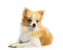 Close up face of pomeranian puppy dog lying on white background. Close up face of pomeranian dog on white background Royalty Free Stock Photography