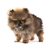 Close up face of pomeranian puppy on white Stock Photos