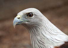 Red hawk. Royalty Free Stock Image