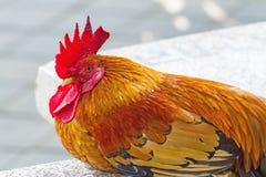 Close up face of  Rooster ,Red junglefowl (Gallus gallus),Bantam Stock Photo