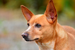 Close up face The Russian Toy Terrier dog. It seems have Purpose and Unwavering Focus . Copy Space Stock Images