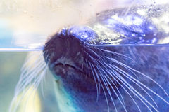 Close up face of seal Royalty Free Stock Photography