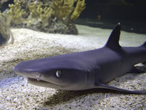 Close up face of a shark Royalty Free Stock Photography
