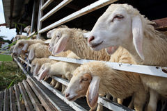 Close up face of sheep in farm Stock Image