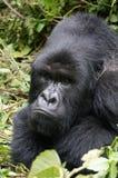 Grumpy silverback gorilla stock image