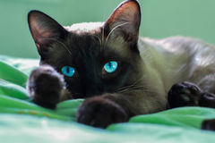Close up face of siamese adult cat. Royalty Free Stock Image