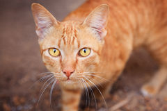 Close up face of siamese thai domestic cat eye contact with blur Royalty Free Stock Photos