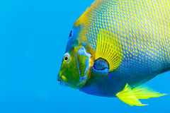 Close up of face and side of Queen Angelfish  holacanthus ciliaris. Close up of  blue and yellow Queen Angelfish  holacanthus ciliaris in blue water Royalty Free Stock Image