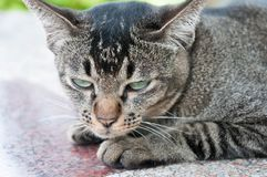 Close-up face and eyes of  cute brown  cat. Close-up face and sleepy eyes of cute brown thailand cat while looking to something Stock Photo