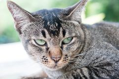 Close-up face and eyes of  cute brown  cat. Close-up face and sleepy eyes of cute brown thailand cat while looking to something Stock Photography
