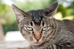 Close-up face and eyes of  cute brown  cat. Close-up face and sleepy eyes of cute brown thailand cat while looking to something Royalty Free Stock Image
