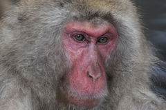 Close up face of snow monkey Royalty Free Stock Photos