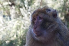 Close up on a monkey`s face stock photo