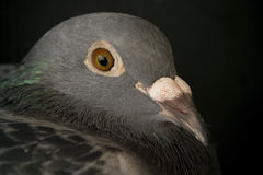 Close up face of speed racing pigeon bird,head shot on black Stock Photography