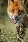 Close up of the face of a staring European red fox Vulpes vulpe stock image