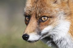 Close up of the face of a staring European red fox Vulpes vulpe royalty free stock photography