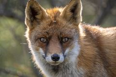 Close up of the face of a staring European red fox Vulpes vulpe royalty free stock image