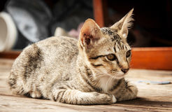 Close up face of stray cat on wood floor Stock Image