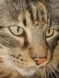 Close-up of the face of a tabby cat stock image