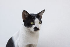 Close up face of thai cat black and white color Stock Image