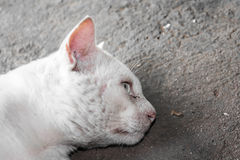 Close up face of Thai cat on the cement wall Royalty Free Stock Images