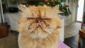 Close up of the face of an ugly cat with its eyes closed tightly. Close up of the face of an ugly ginger cat with its eyes closed tightly, has cute flat nose stock photo