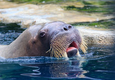 Close up face of walrus floating in deep blue water Royalty Free Stock Images