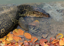 Close up face of Water monitor Varanus salvator lying in water p Stock Images