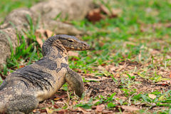 Close up face of Water monitor Varanus salvator on natural field Stock Image