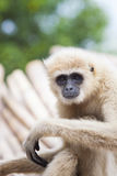 Close up face of White Cheeked ,white hand Gibbon or Lar Gibbon Stock Photos