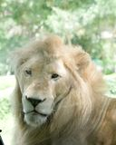 Close up face of white lion royalty free stock photography