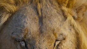 Close up face of wild African male lion, Savanna, Africa royalty free stock image