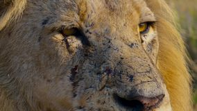 Close up face of wild African male lion, Savanna, Africa stock photo