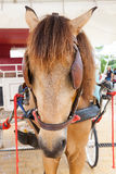 Close up face of working horse with eyes blind path Royalty Free Stock Photo