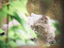Close up face and yellow eye from beauty female gray persian cat. With long hair sit in garden with soft focus foreground tree leaf Stock Photo