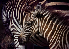 Close up face of young african wilderness zebra pony in field Stock Photos