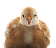Close up face of young chicken Royalty Free Stock Photos