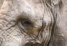 Close up facial portrait of African Elephant Loxodonta Africana Royalty Free Stock Photo