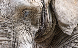 Close up facial portrait of African Elephant Loxodonta Africana Royalty Free Stock Photos